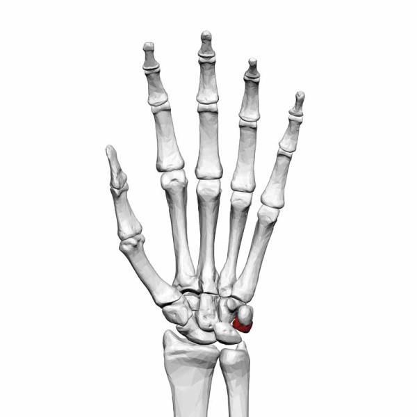 عظام الرسغ